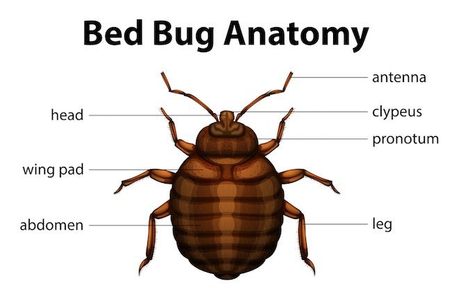 What are bed bugs?